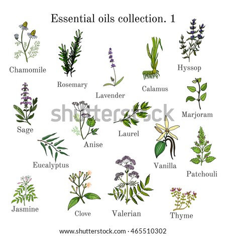 Set of essential oil plants: chamomile, rosemary, lavender, calamus, hyssop, sage, anise, laurel, marjoram, eucalyptus, vanilla, patchouli, jasmine, clove, valerian, thyme. Hand drawn vector #465510302