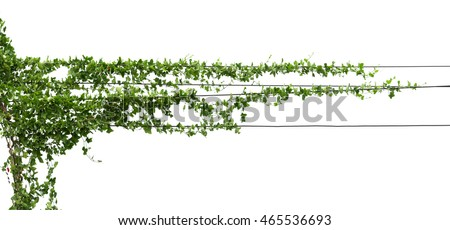 Vines on poles, plant isolated on white #465536693