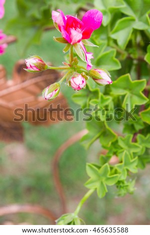 Pink flowers outside in pots in summer geranium #465635588