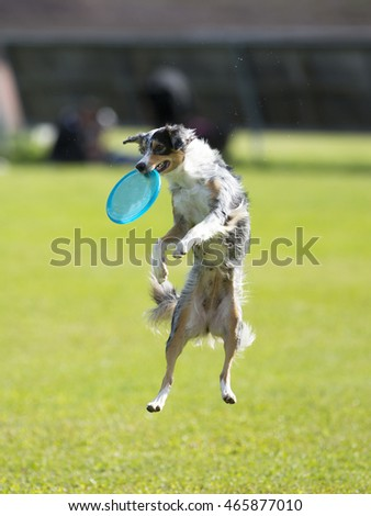 Dog in action. A dog is fetching the disc golf with enormous speed on an outdoor field. The dog breed is Australian shepherd dog #465877010