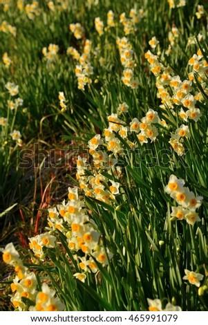 Narcissus #465991079