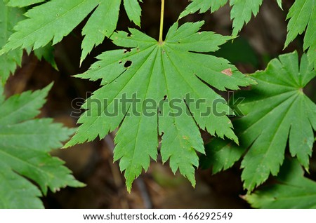 A close up of the green leaves of maple. #466292549