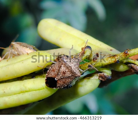 Brown marmorated stink bug (Halyomorpha halys) crawls across a  smooth rattlebox (Crotalaria pallida) seed pod.