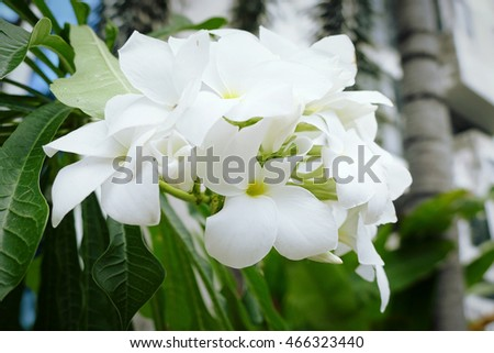 The beautiful white flowers bloom on the branches of their trees. #466323440
