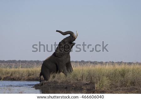 Elephant trumpeting as he leaves the Chobe River in Botswana Africa