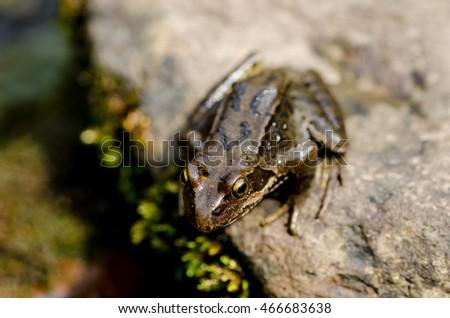 Pyrenees frog #466683638