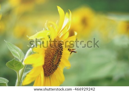 Honey bee flies on sunflower in bloom collect flower nectar and yellow pollen in sunshine #466929242