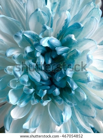Chrysanthemum sweet backgrounds blurred #467054852