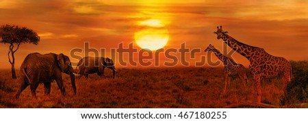 Elephants and Giraffes at African Sunset Background #467180255