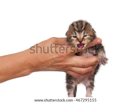 Little newborn kitten in a woman hand isolated on white background #467295155