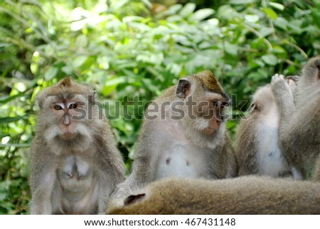 Crab-eating macaques (Macaca fascicularis) on a wall in the Ubud Monkey Forest, Bali, Indonesia #467431148