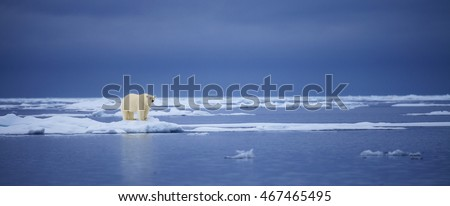A polar bear stands on the edge of an ice floe in the Svalbard Archipelago.  #467465495