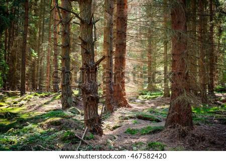 Sunny forest in Sumava park. Czech Republic. #467582420