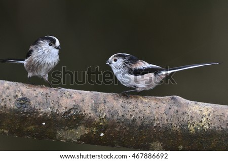 Long tailed tits on branch #467886692