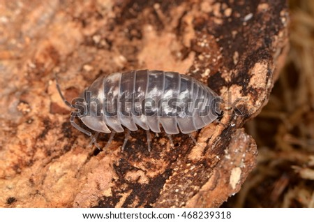 woodlouse Armadillidium nasatum #468239318