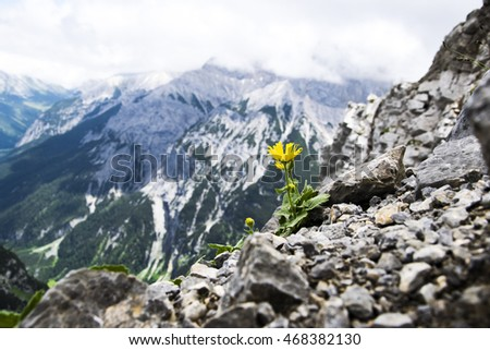 Yellow flower on the rocks in Alps. #468382130