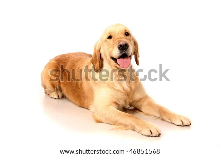 Happy golden Retriever (3 years) in front of a white background #46851568