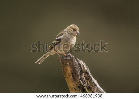 Chaffinch female perched on a branch in a forest #468981938