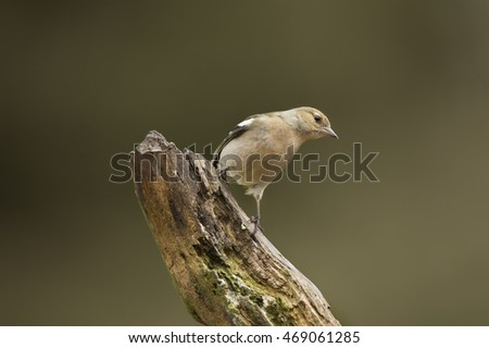 Chaffinch female, perched on a branch in a forest #469061285