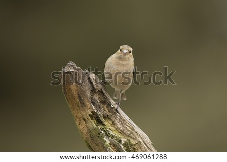 Chaffinch female, perched on a branch in a forest #469061288