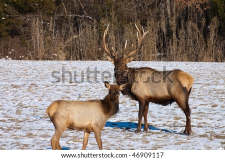 A couple of elk stand and watch near Boxley, AR. Picture was taken on February 10, 2010.