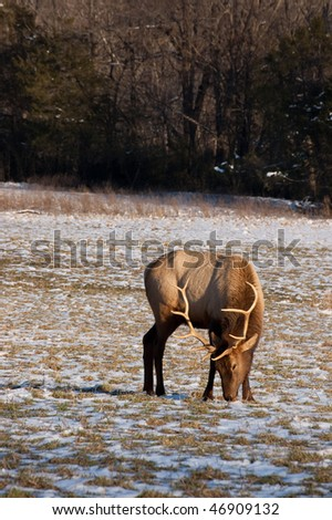 A wild Elk near Boxley, AR is eating grass and snow clumps. Picture taken on February 10, 2010.