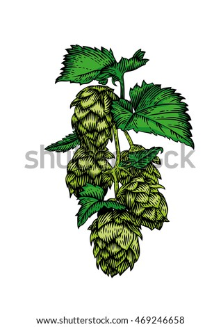 Drawing of fresh green branch of hops on white #469246658