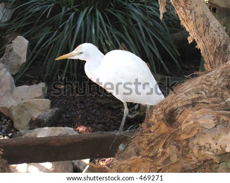 Rainforest Habitat - Eastern Reef Egret 02 #469271