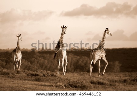 A herd of Giraffe walking together in this image. South Africa #469446152