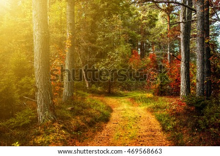 A walk in the autumn woods. Sunshine. Sunset.  Golden autumn. The colorful trees. Wildlife of Estonia. #469568663