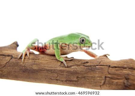 Walking leaf frog on white #469596932