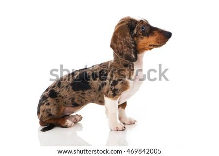 Dachshund  puppy #469842005