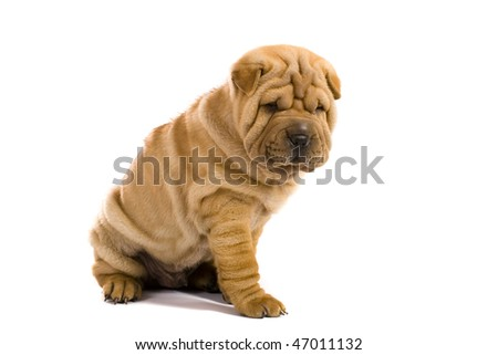 Funny sharpei puppy isolated on white background #47011132