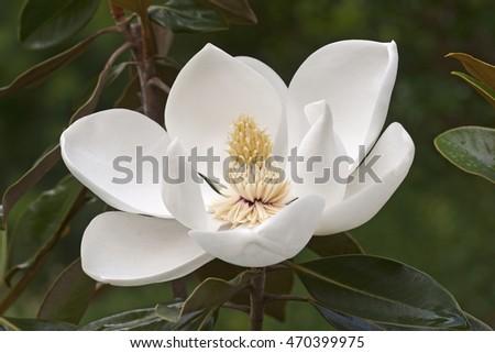 Southern magnolia flower (Magnolia grandiflora). Called  Evegreen Magnolia, Bull Bay, Bullbay Magnolia, Laurel Magnolia and Loblolly Magnolia also