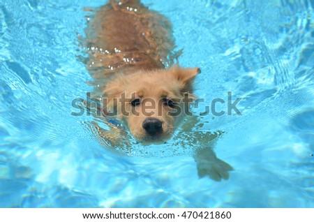 Adorable golden retriever puppy swimming. #470421860