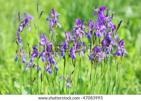 Irises #47083993