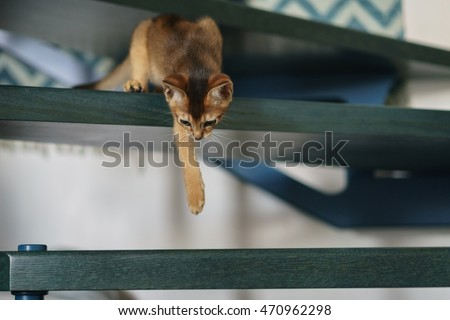 abyssinian kitten playing on stairs Royalty-Free Stock Photo #470962298