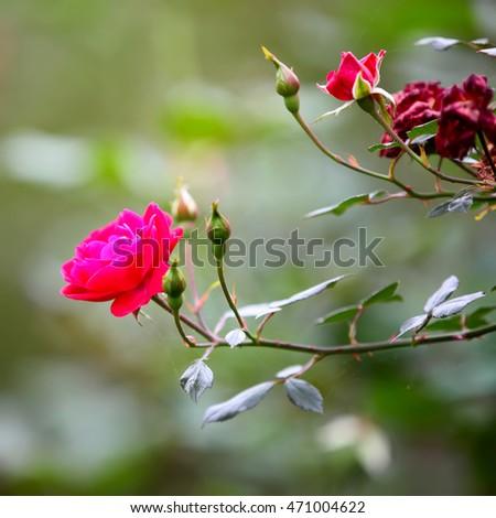 rose flower in the garden  #471004622