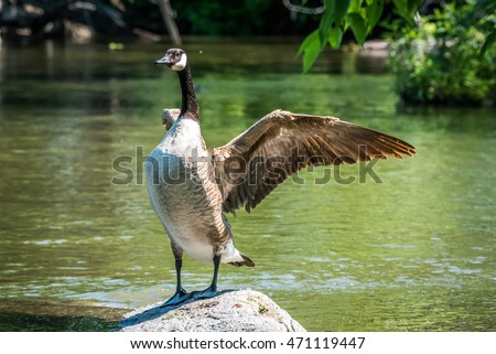Canada Goose stands on rock, flaps his wings in a springtime display of courtship and territory on the Ottawa River. Royalty-Free Stock Photo #471119447