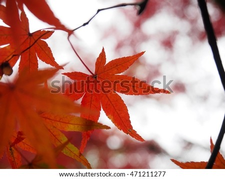 Orange Maple  #471211277