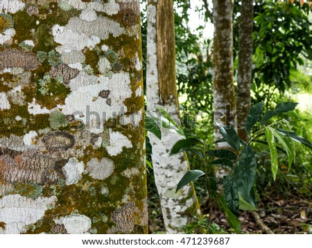 Agarwood tree in the nature #471239687