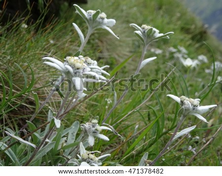 many edelweiss (Leontopodium alpinum), most famous endangered mountain flower of the alps #471378482
