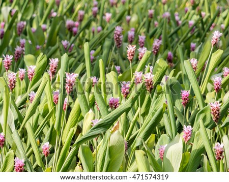 Siam tulip field with blur background sweet tone #471574319