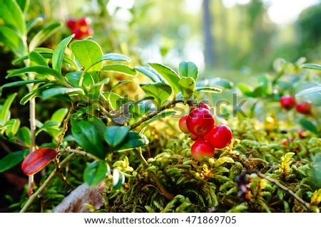 Vaccinium vitis-idaea (lingonberry, partridgeberry or cowberry). Fresh wild lingonberry in forest. Organic lingonberry. Evening sunlight in background. Nature in summer season, Finland #471869705