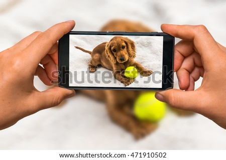 Woman hands with mobile cell phone to take a photo of english cocker spaniel puppy with yellow tennis ball