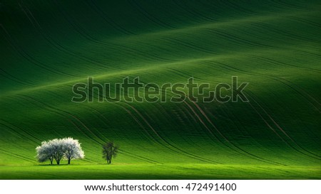 Green Rolling Spring Landscape With Small Apple Tree. Fairy Minimalistic Landscape With White Springtime Flowering Tree On Green Background. Natural Rural Landscape In Green Color. South Moravia.