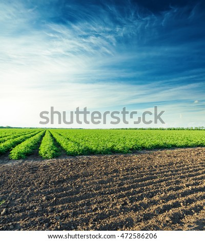 sunset over agricultural field with green bush of tomatoes #472586206
