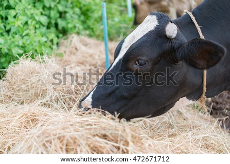 Milk cow eat grass in farm with bright sunlight #472671712