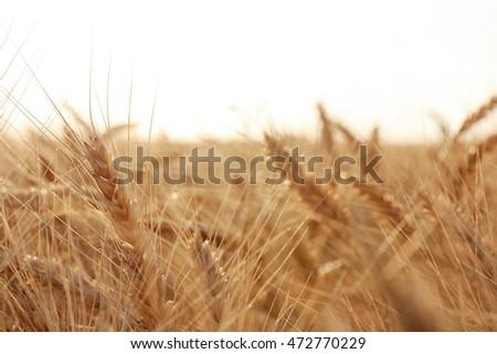 Beautiful wheat field #472770229
