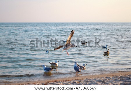 Seagull flies and lands on the sand by the sea in a pack Ukraine #473060569